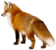 Transparent fox clipart